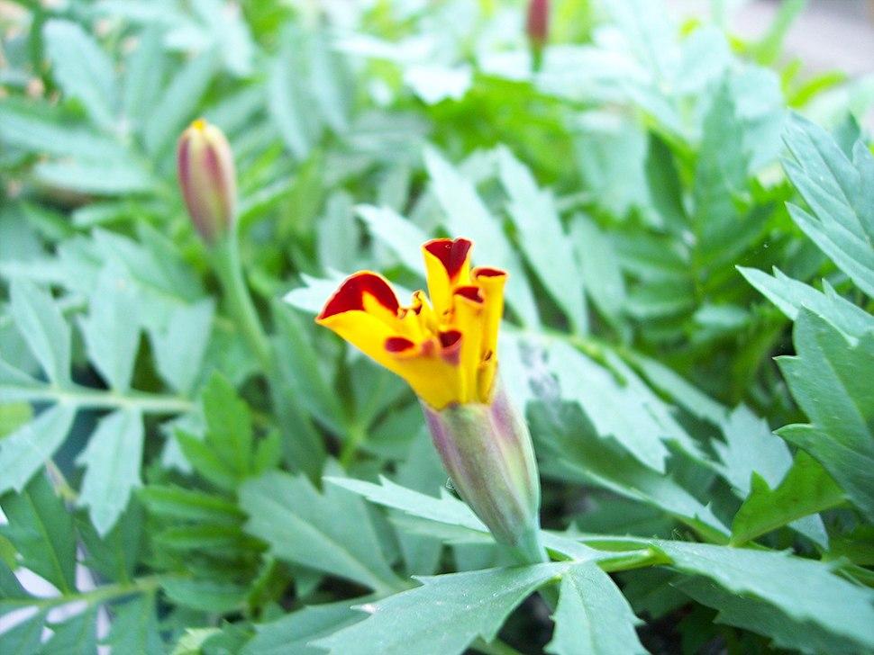 Tagetes-flower grow-3