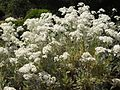 Tanacetum ptarmiciflorum 'Silver Feather' 2.JPG