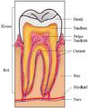 Tandens delar.png