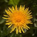 Taxarum officinale-Pissenlit-Fleur-20160428.jpg