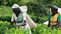 Tea Plantation Workers Sri Lanka.jpg