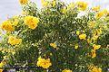 Tecoma Stans (Yellow Elder) (28863456756).jpg