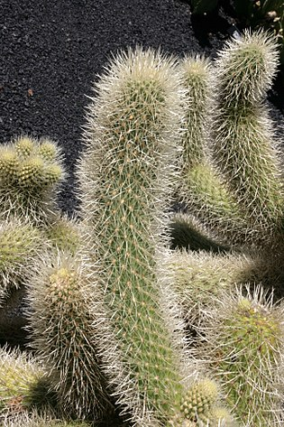 Teguise Guatiza - Jardin - Cylindropuntia bigelovii 04 ies.jpg