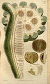 Telfairia pedata fruit