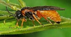 Tenthredinidae (aka).jpg