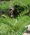 Tephrosia purpurea (Unhali, Sarphonk, Wild Indigo) in Hyderabad, AP W IMG 9205
