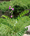 Tephrosia purpurea (Unhali, Sarphonk, Wild Indigo) in Hyderabad, AP W IMG 9205.jpg