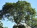 Tetrameles nudiflora habit (1).jpg