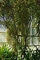 Tetrataxis salicifolia, Conservatoire botanique national de Brest 02.jpg