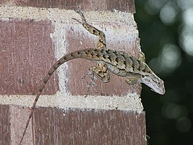 Texas Spiny Lizard (Sceloporus Olivaceus) on brick wall.jpg