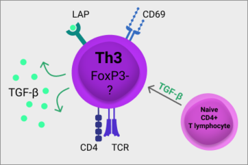 Th3 cells arise from naive CD4+ T lymphocytes in the presence of TGF-β, express CD4, CD69, LAP and produce TGF-β. Unlike the well characterised T regulatory cells (Treg), Th3 cells do not express transcription factor FoxP3. Currently there is no specific transcription factor defining Th3 cells. (transforming growth factor β, TGF-β; latency-associated peptide, LAT; T cell receptor, TCR)