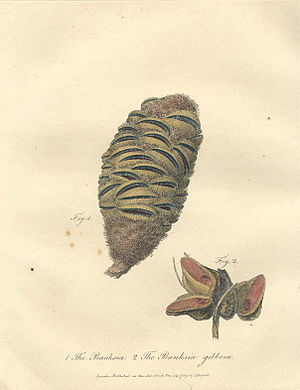Banksia spinulosa - The Banksia infructescence in this drawing may be the first published reference to B. spinulosa.