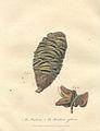 The Banksia (John White).jpg