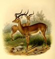 The book of antelopes (1894) Aepyceros melampus.png