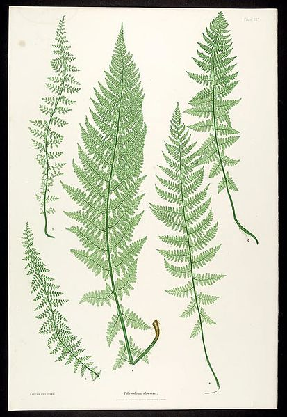 File:The ferns of Great Britain and Ireland (Plate VII) BHL301725.jpg