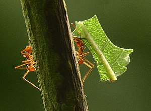 Leafcutter ant - Two leafcutter ants