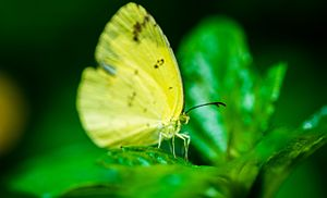 Bannerghatta National Park - the yellow butterfly