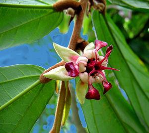 Cupuaçu - Cupuacu flower