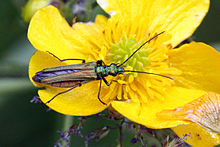 Thick-legged flower beetle (Oedemera nobilis) female.JPG