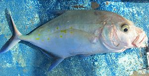 Island trevally - The fleshy lips of the island trevally are a distinguishig feature.