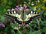 Thomas Bresson - Machaon-1 (by).jpg