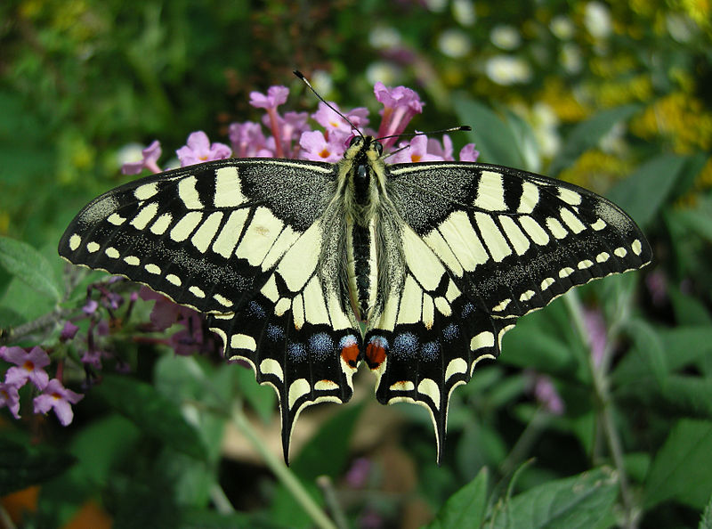 Old World Swallowtail on Buddleja davidii Fran...