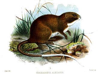 Echimyidae - The white-tailed olalla rat, Olallamys albicauda