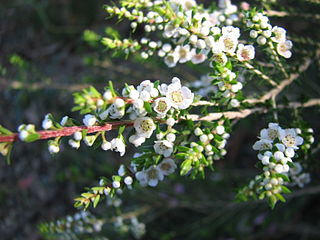 <i>Thryptomene hyporhytis</i> species of plant