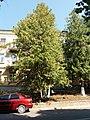 Thuja occidentalis, Shevchenka 33, Kamianets-Podilskyi 02.jpg