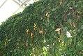 Thunbergia mysorensis 13zz.jpg