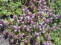 Thymus serpyllum 2018-07-06 3567.jpg