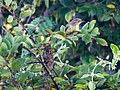 Tickell's Leaf Warbler (23875051200).jpg