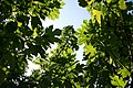 Tithonia diversifolia 6zz.jpg
