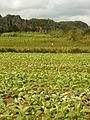 Tobacco Field in Pinar del Rio Province - Cuba.JPG