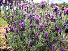 lavender wiktionary