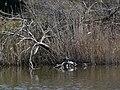 Tortugues de Florida a l'estany del braç de la Vidala P1100414.jpg