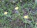 Tragopogon dubius 11.jpg