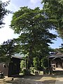 Tree in Suga Shrine in Munakata, Fukuoka.jpg