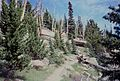 Treeline forest on Pikes Peak, 1995.jpg