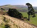 Trees on the south side of the ridge, west of Kimmeridge - geograph.org.uk - 695824.jpg