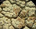 Tremella diploschistina Millanes, M. Westb., Wedin & Diederich 590909 2013-04-19.jpg