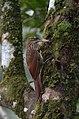 Trepatroncos Bigotudo, Ivory Billed Woodcreeper, Xiphorhynchus flavigaster (11916658746).jpg