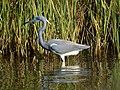 Tricolored Heron (16334341654).jpg