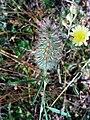 Trifolium angustifolium FlowersCloseup DehesaBoyaldePuertollano.jpg