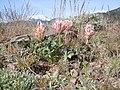 Trifolium macrocephalum (8097443627).jpg