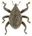 Trigonopterus dentirostris holotype - ZooKeys-280-001-g022.jpg
