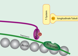 Troponin and tropomyosin.