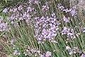 Tulbaghia violacea (SG) (32215197673).jpg