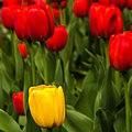 Tulips (17329004453).jpg