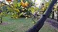 Tuliptree (36946724564).jpg